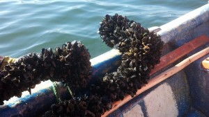 Mussels pulled up from Coliumo Bay