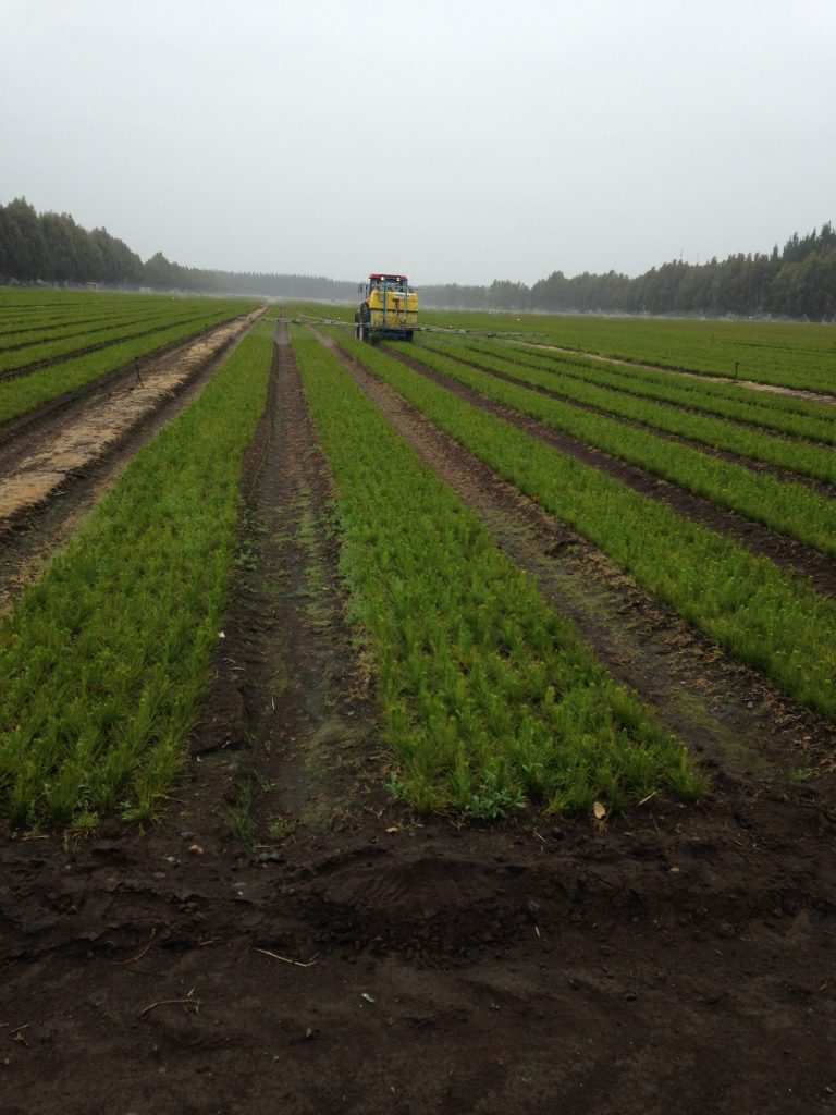 One of many large radiata pine nurseries to provide seedlings for refoestation projects