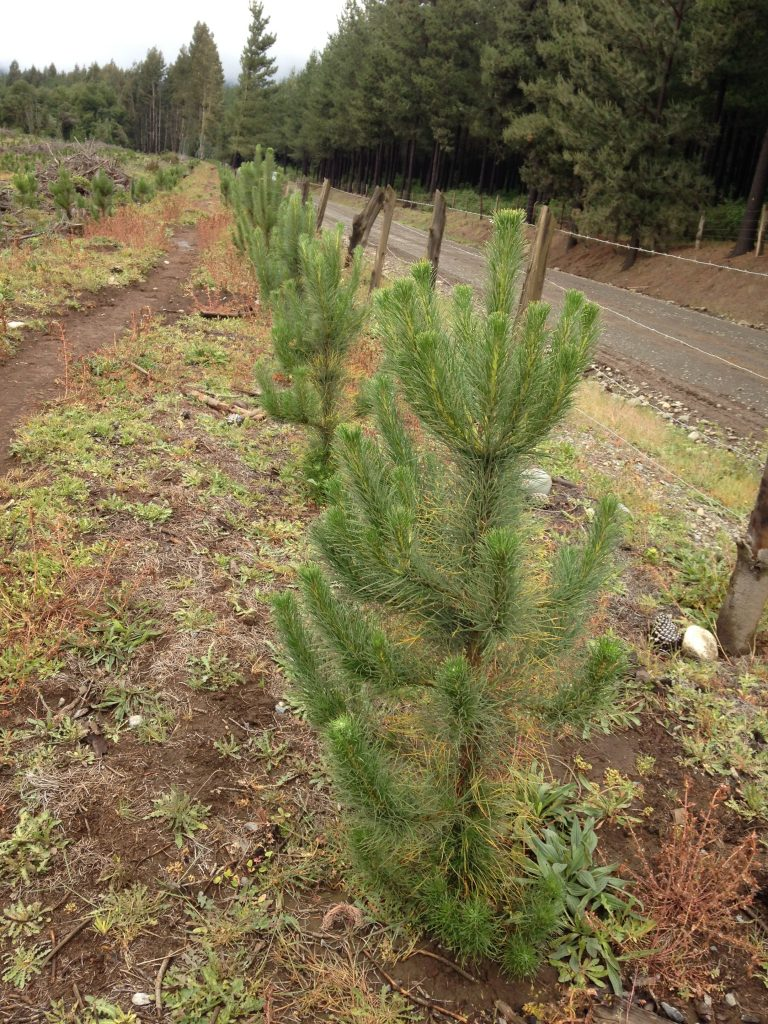 Three year old radiata pine seedlings planted in the Andean foothills in central Chile