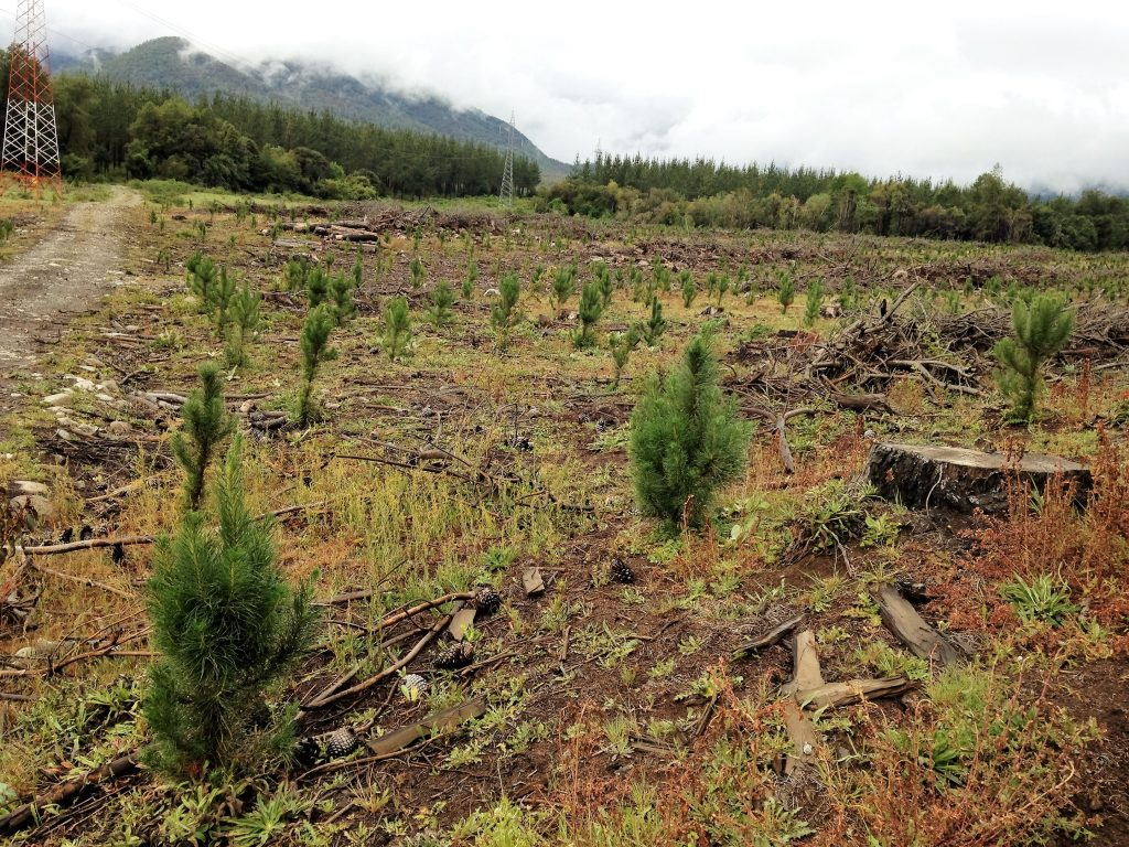 Year old pine planting following harvest of 25 year old pine plantation. Foothills of the Andes in the upper Bio Bio region