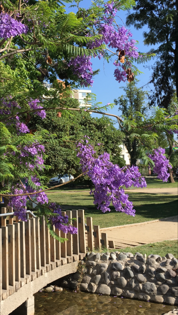 Jacaranda in full bloom on Avenida Pocuro